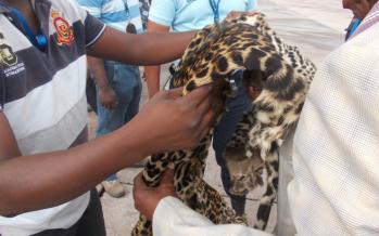 Un avocat arrêté avec une peau de panthère à l'aéroport de Brazzaville