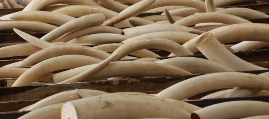 136 kilos de pointes d'ivoire de la RDC saisies en France