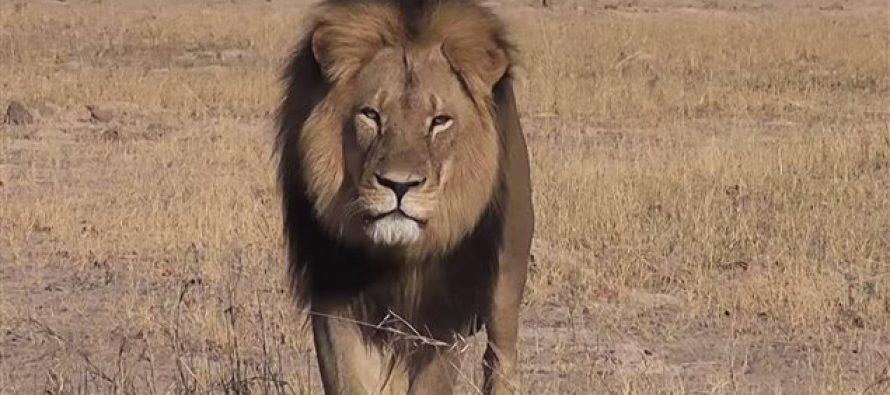 Cecil, le lion le plus célèbre du Zimbabwe, abattu par un américain