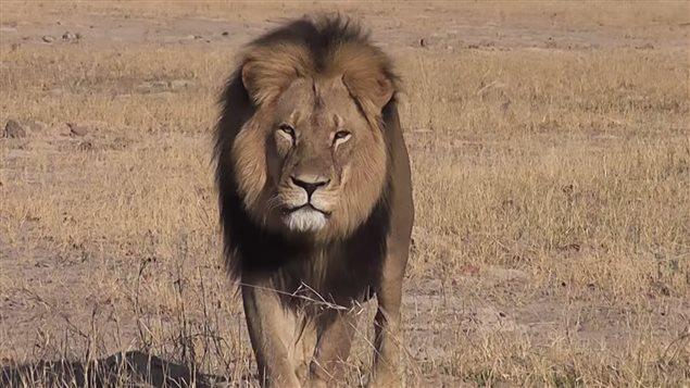 Le lion Cecil du Zimbabwe était reconnaissable à sa crinière noire.  Photo :  YouTube