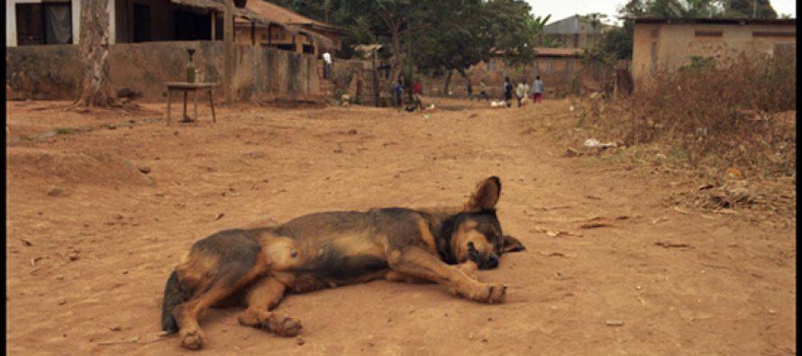 Congo : Chasse aux chiens en divagation dans le chef-lieu de la Lékoumou