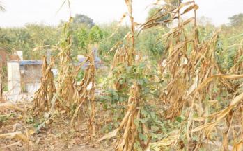 Pointe-Noire : l'ancien cimetière de Mont-Kamba transformé en champ de manioc et maïs