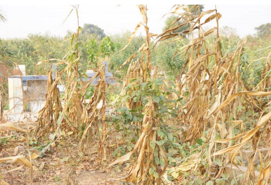 L'ancien cimetière de Mont-Kamba transformé en champ de manioc et maïs