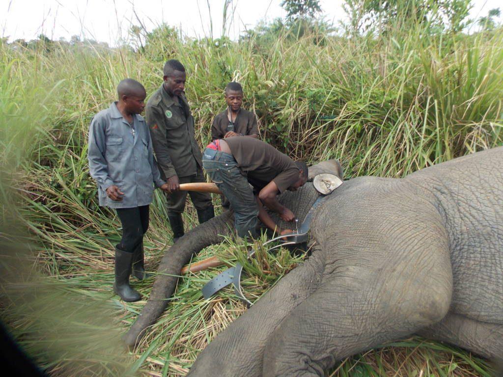 éléphants au Congo Brazzaville
