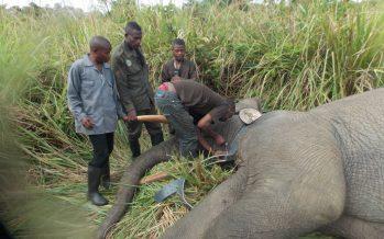 Congo : une stratégie pour sauvegarder les éléphants