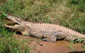 Zimbabwe : un enfant de 8 ans retrouvé dans le ventre d'un crocodile