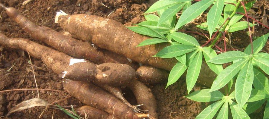 Congo: le gouvernement envisage une autosuffisance en manioc