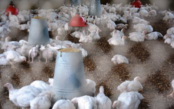 Épidémie de grippe aviaire dans le nord-est de la RDC
