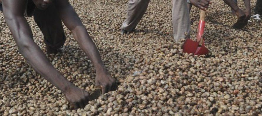 Congo : Une société chinoise va injecter 53 milliards de FCFA dans la production de la noix de cajou