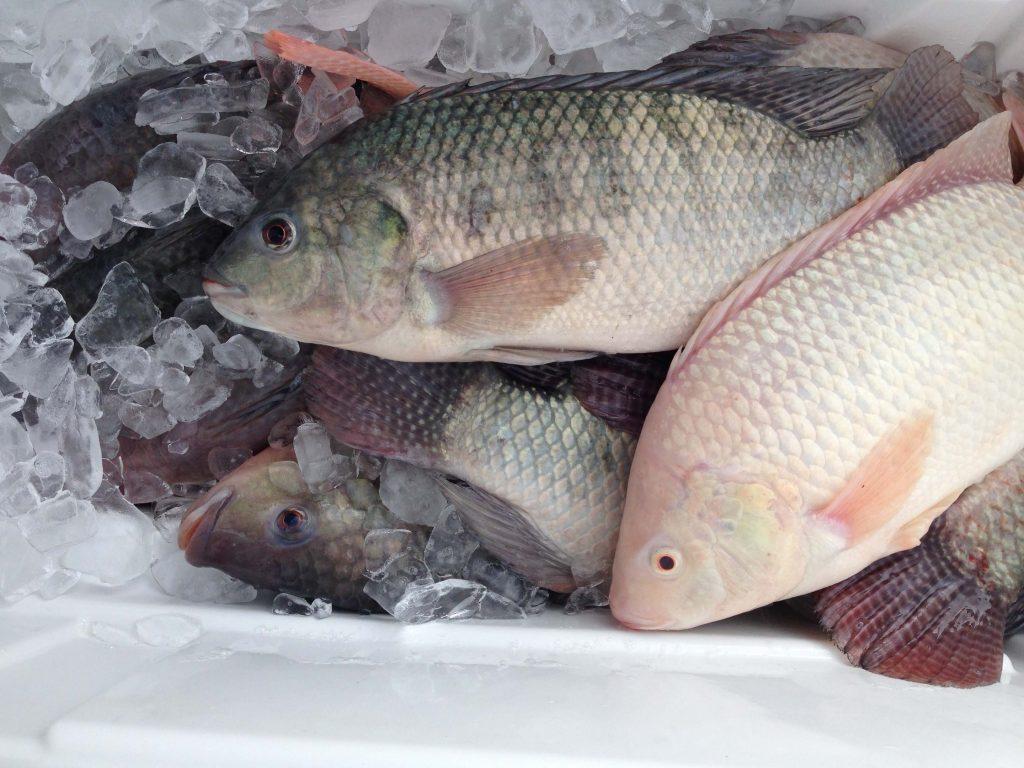 Congo : Du poisson avarié découvert dans un entrepôt des Chinois à Pointe-Noire