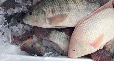 Congo : Du poisson avariAi?? dAi??couvert dans un entrepA?t des Chinois Ai?? Pointe-Noire