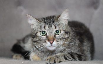 Disparition des chats à Pointe-Noire : Les Béembés indexés