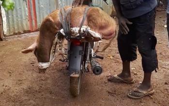 Congo : Un soldat vole un cochon dans un parc à Dolisie