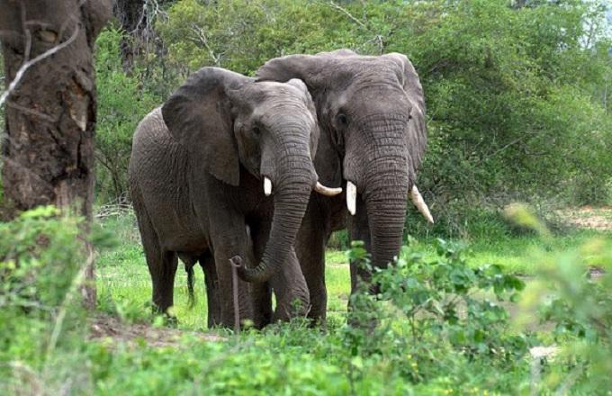 Congo : Des éléphants sèment la terreur dans la ville de Moungoundou-sud