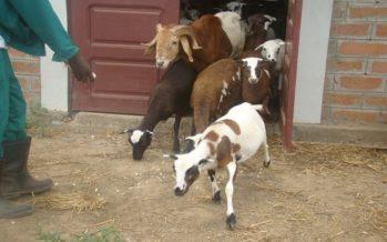 Congo : Il vole 10 moutons les vend à 7000 Fcfa chacun, pour s'acheter un « téléphone tactile »