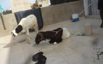 Congo : Un enfant vole un cabri réservé pour la dot de sa mère