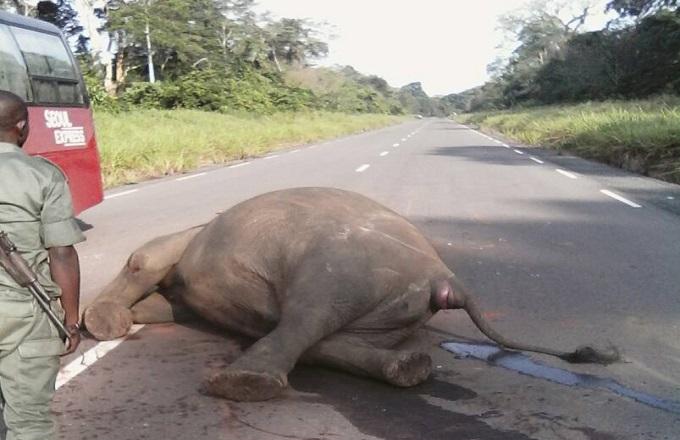 Collision entre un éléphant et un bus dans le parc Odzala