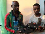 Congo : Deux braconniers condamnés à trois ans de prison ferme pour braconnage d'un éléphant