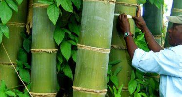 Cent milliards FCFA pour la culture du bambou au Congo