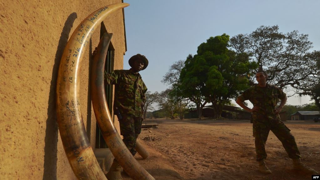 Un éclaireur (à gauche) se tient parmi les défenses d'éléphants confisquées aux braconniers le 4 février 2016 dans le parc national de la Garamba, dans le nord-est de la RDC. / AFP PHOTO / TONY KARUMBA
